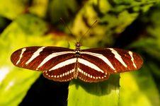 Free Zebra Longwing Butterfly Stock Photo - 20495600