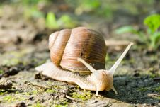 Free Snail Royalty Free Stock Photo - 20495825