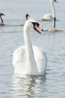 Free Swan Royalty Free Stock Photos - 20495868