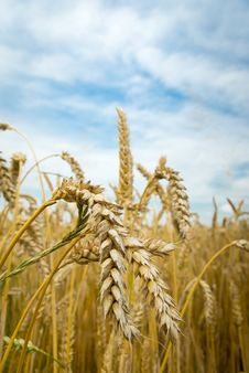 Free Wheat Stock Image - 20495871