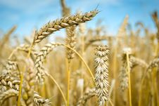 Free Wheat Stock Photo - 20495880