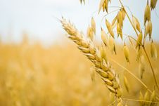 Free Wheat Stock Image - 20495881
