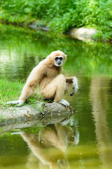 Free Monkey Royalty Free Stock Photos - 20496108