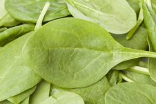 Free A Fresh Green Spinach Leaf Royalty Free Stock Image - 20496196