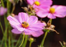 Free Pink Flower Stock Image - 20496221
