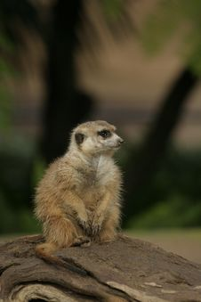 Free Meerkat Stock Photography - 20496682