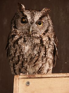 Free Screech Owl Stock Images - 20496704