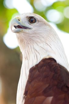 Red Kite Eagle