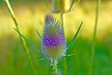 Beautiful Thistle In Wild Flower Stock Image