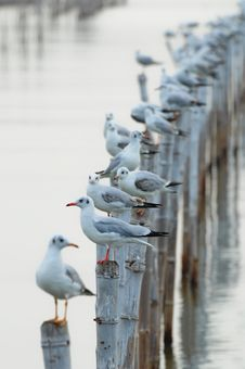 Free Seagull Sit On Bamboo Royalty Free Stock Photo - 20497735