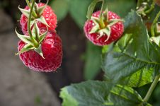 Free Red Raspberry Stock Images - 20498204