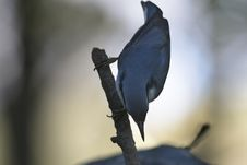 Free Nuthatch On Branch Royalty Free Stock Photography - 20498207