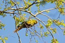 Free Austral Parakeet Stock Image - 20498891