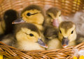 Free Easter Ducks Stock Image - 2057851