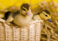 Free Easter Ducks Royalty Free Stock Image - 2057906
