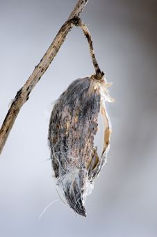 Free Frozen Milkweed Pod Stock Photos - 2054263