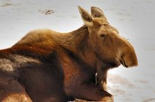 Free Moose Royalty Free Stock Photography - 2054397