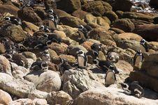 Jackass Penguins (Demersus Spheniscus) Royalty Free Stock Photography