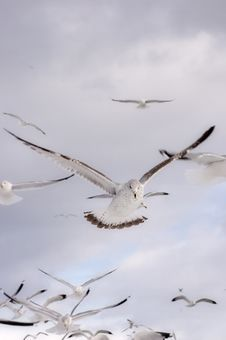 Free Seagull Flight Royalty Free Stock Photography - 2054747