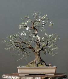 Free Wild Cherry As Bonsai In Spring Stock Image - 2055361
