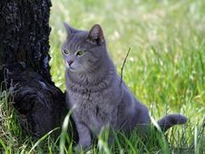 Free Gray Cat Royalty Free Stock Photography - 2056537