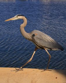 Free Great Blue Heron Walking Stock Photos - 2057163