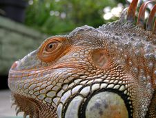 Free Iguana - Close Up Stock Images - 2057344