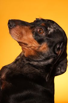 Free Proud Dachshund Royalty Free Stock Image - 2057406