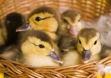 Free Easter Ducks Stock Image - 2057851