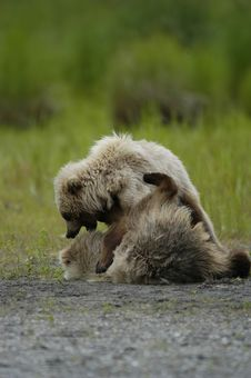 Free Two Brown Bear Cubs Playing Royalty Free Stock Photos - 2059118