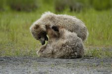 Free Two Brown Bear Cubs Playing Stock Images - 2059124