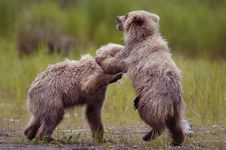 Free Two Brown Bear Cubs Playing Stock Photos - 2059133