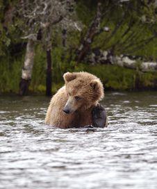 Free Brown Bear Scratching Ear Stock Photos - 2059163