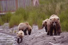 Free Brown Bear Sow With Her Three Cubs Royalty Free Stock Image - 2059256