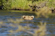 Free Brown Bear Floating Down River Royalty Free Stock Photography - 2059387