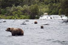 Four Brown Bears Hunting In Brooks River Stock Photography
