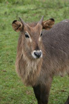 Free Goat Stock Image - 2059821