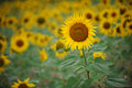 Free Yellow Sunflowers Royalty Free Stock Photography - 20501567