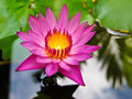 Free Lotus Royalty Free Stock Photos - 20501658