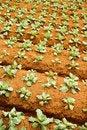 Free Broccoli Plantation Royalty Free Stock Image - 20504376
