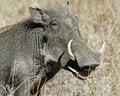 Free Warthog Stock Photography - 20507222