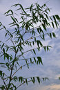 Free Bamboo Leaf With Sky Stock Images - 20508414