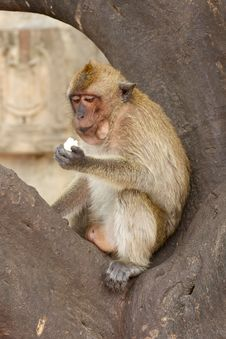 Free Old Monkey Royalty Free Stock Photos - 20500898