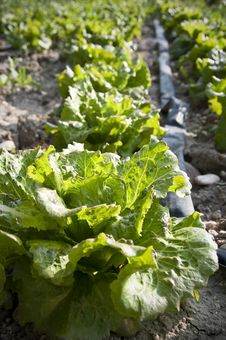 Free Organic Lettuce Stock Images - 20501194