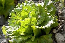 Free Organic Lettuce Royalty Free Stock Photography - 20501547