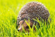 Free West European Hedgehog Stock Photos - 20502003