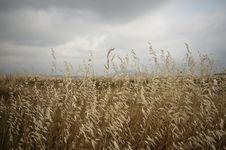 Free Field Of Corn Stock Image - 20502071