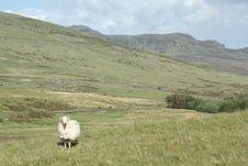 Free Sheep On Hillside. Stock Photo - 20502170