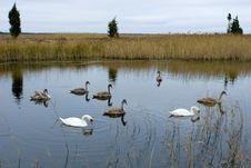 Free Swans Stock Photos - 20502263