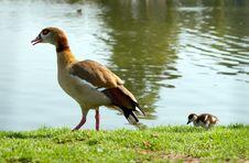 Free Two Ducks Stock Image - 20502601